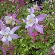 Caldarusa-Aquilegia Caerulea Rose Queen
