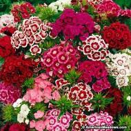 Dianthus barbatus-Garoafa turceasca