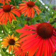 Echinacea Summer Sun