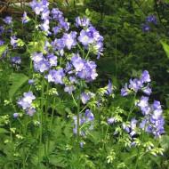 Polemonium Caeruleum-Jacob's Ladder Blue