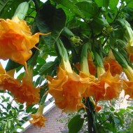 Brugmansia suaveolens Orange Glory