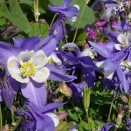 Caldarusa-Aquilegia Caerulea Blue Star