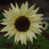 Floarea soarelui decorativa Vanilla Ice