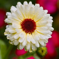 Galbenele-Calendula Off. Snow Princess