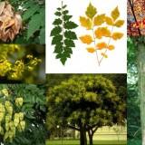 Koelreuteria paniculata / Otetar galben