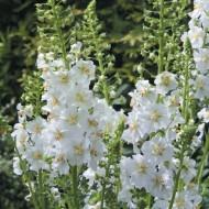 Lumanarica-Verbascum Phoeniceum Flush of White