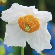 Mac Meconopsis Baileyi Alba