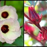 Roselle Thai red - Hibiscus sabdariffa