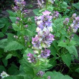Salvia sclarea-Serlai