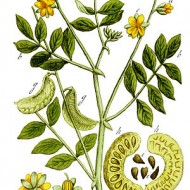 Siminichia-Cassia angustifolia