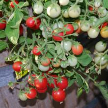 Tomate cherry Gartenperle