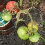 Tomate soi Romanesc DACIA