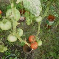 Tomate soi Romanesc Ghittia