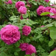 Trandafir de dulceata Mme Isaac Pereire