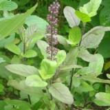Tulsi-Ocimum tenuiflorum