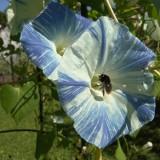 Zorele-Ipomoea tricolor Flying Saucers