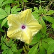 Zorele-Ipomoea Tuberculata