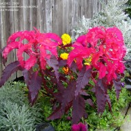 Amaranthus tricolor Early Splendor