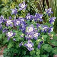 Caldarusa-Aquilegia spring Magic Blue-White