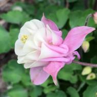 Caldarusa-Aquilegia vulgaris Winki double rose & white