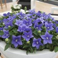 Clopotel chinezesc-Platycodon grandiflora Astra Blue