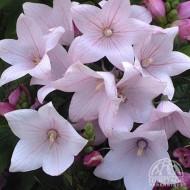 Clopotel chinezesc-Platycodon grandiflora Astra Pink