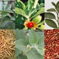 Ginseng Indian-Ashwaganda-Withania somnifera