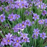 Iarba cu ochi albastri-Sisyrinchium Angustifolium