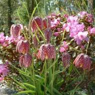 Laleaua Pestriță-Fritillaria meleagris