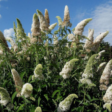 Liliac de vara-Buddleja Davidii White