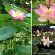 Lotus pink-Nelumbo nucifera