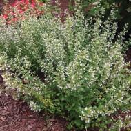 Nepeta cataria white-Catusnica