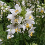 Polemonium Caeruleum-Jacob's Ladder White