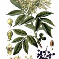 Soc-Sambucus nigra