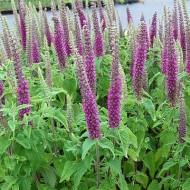 Teucrium hyrcanicum Purple Tails