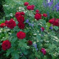 Trandafir Dame de Coeur