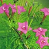 Zorele-Ipomoea Cardianal Climber Pink