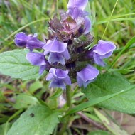 Busuioc de camp-Prunella Vulgaris