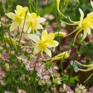 Caldarusa-Aquilegia Chrysantha Yellow Queen