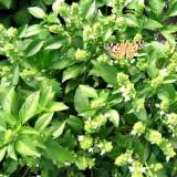Busuioc Lamaia-Lemon Basil