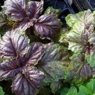 Busuioc Lettuce leaf purple