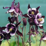 Caldarusa-Aquilegia William Guinness
