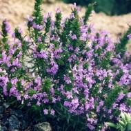 Cimbru de iarna-Satureja Montana ssp illyrica