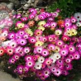 Dorotheanthus bellidiformis-Floare de cristal