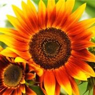 Floarea soarelui decorativa Evening Sun