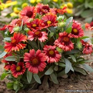 Gaillardia Aristata Arizona Red