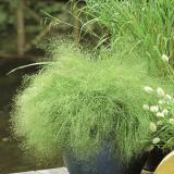 Iarba decorativa Agrostis nebulosa