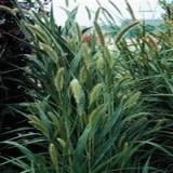 Iarba decorativa Setaria macrocheata
