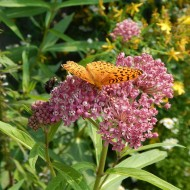 Iarba fluturilor-Asclepias incarnata