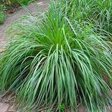 Lemongrass-Iarba lamaioasa